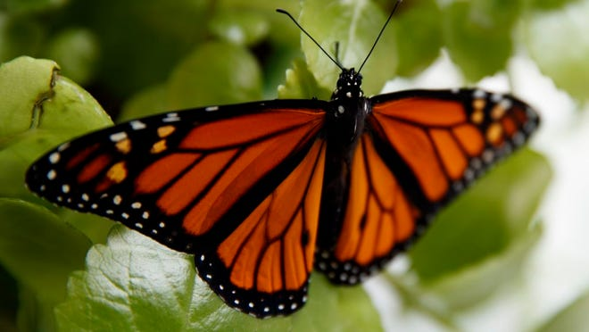 FILE - In this June 2, 2019, file photo, a fresh monarch butterfly rests on a Swedish Ivy plant soon after emerging in Washington. Trump administration officials are expected to say this week whether the monarch butterfly, a colorful and familiar backyard visitor now caught in a global extinction crisis, should receive federal designation as a threatened species.
