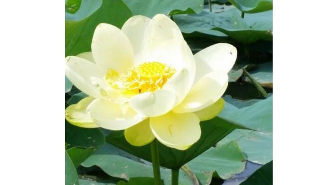 An American Lotus photographed at Sterling State Park in Frenchtown Township.
