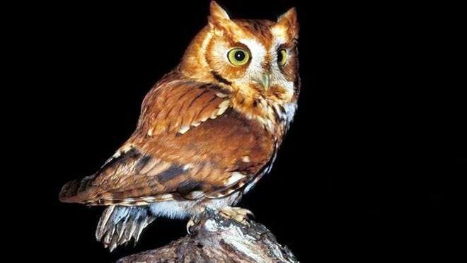 The screech owl (pictured above) is one of a number of owl species that can be found in Missouri. People can learn more about Missouri's owls at a free Missouri Department of Conservation virtual program on Feb. 4.