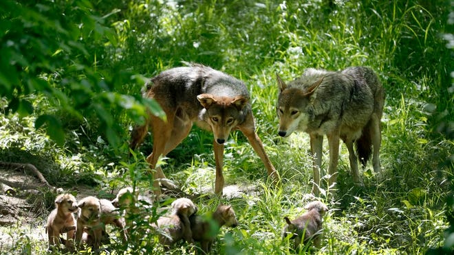 FILE - In this May 20, 2019 file photo, American red wolves Artemis, right, and Oka, left, keep watch over their 5-week-old pups at the Endangered Wolf Center in Eureka, Mo. The St. Louis Zoo plans to use land it owns in a rural area of Missouri as habitat for the wolf breed on the verge of extinction, zoo officials said Monday, Feb. 1, 2021. Only about 20 American red wolves remain in the wild due mostly to illegal hunting, vehicle strikes and habitat loss.