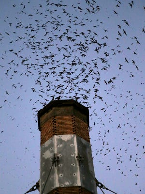In this Tuesday, Sept. 13, 2016 photo, thousands of migratory Vaux's Swifts swarm to roost for the night inside a large, brick chimney at Chapman Elementary School in Portland, Ore. Numbers of Vaux's Swifts are in decline, in part scientists say because of the destruction of the brick chimneys that they use to roost during their annual fall migration. (AP Photo/Don Ryan)