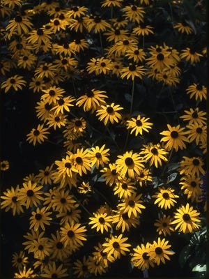 The Black-eyed Susans in mass plantings makes for a brilliant show of bright yellow color in July and August. A fine choice for a pollinator garden.