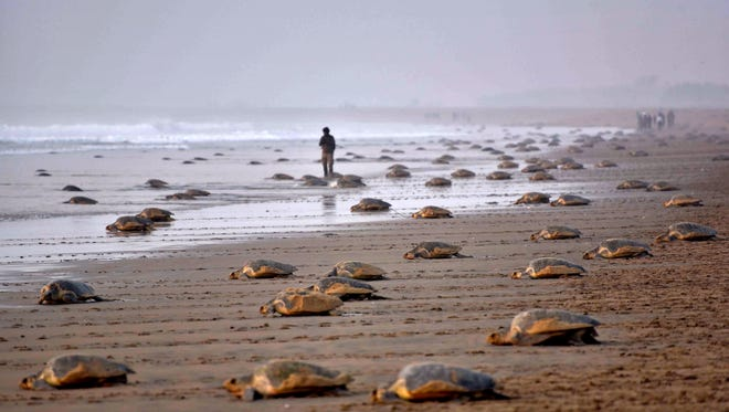 Olive Ridley Turtles return to the sea after laying their eggs in the sand at Rushikulya Beach, some 88 miles south-west of Bhubaneswar, early Feb. 16, 2017.