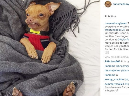 Screenshot: Tuna the Instagram famous chiweenie will be visiting Palm Springs Thursday.