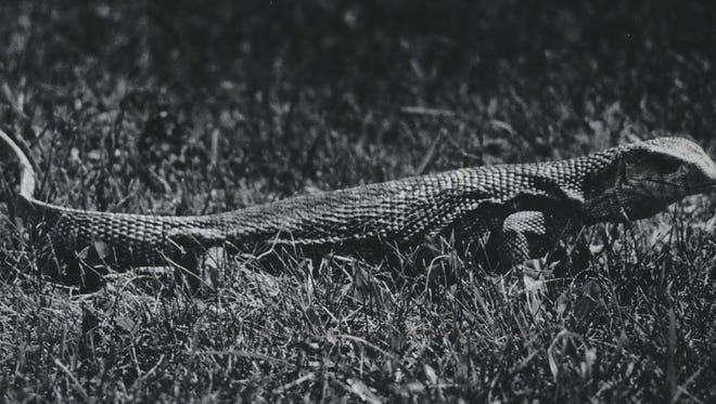 A monitor lizard at the Milwaukee County Zoo was renamed Paul Monitor during the summer of 1978, in honor of the Brewers' rookie second baseman, Paul Molitor.