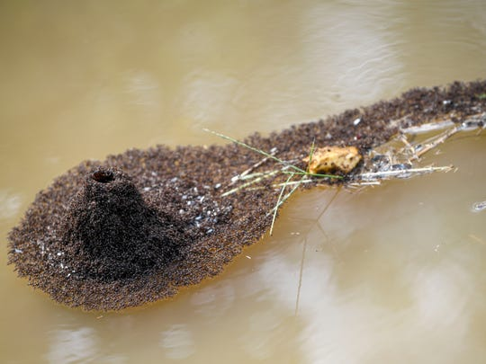 Fire ants clump together and create a formation that looks like a volcano in the flood waters on the side of the road in the morning hours after flash floods swept through low lands and creek beds at Highway 18 in Medon, Tenn., Monday, July 16, 2018.