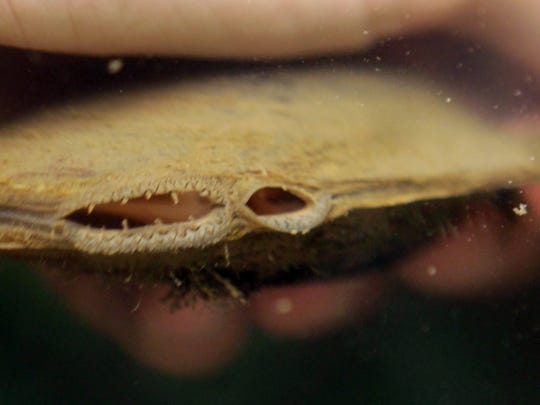 Close up of an Ohio River mussel as it eats by drawing in water filled with microorganisms through its incurrent siphon on the left  and expels it through the smaller opening. The process serves as a natural water filter. The mussel is in the Thomas More College Field Biology Station on the Ohio River.