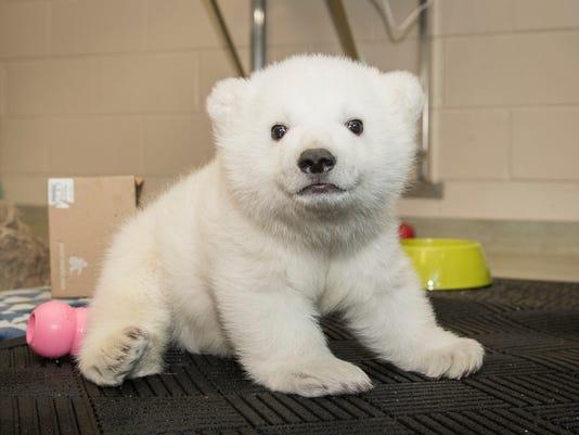 Hello Nora Columbus Zoo Names Polar Bear Cub