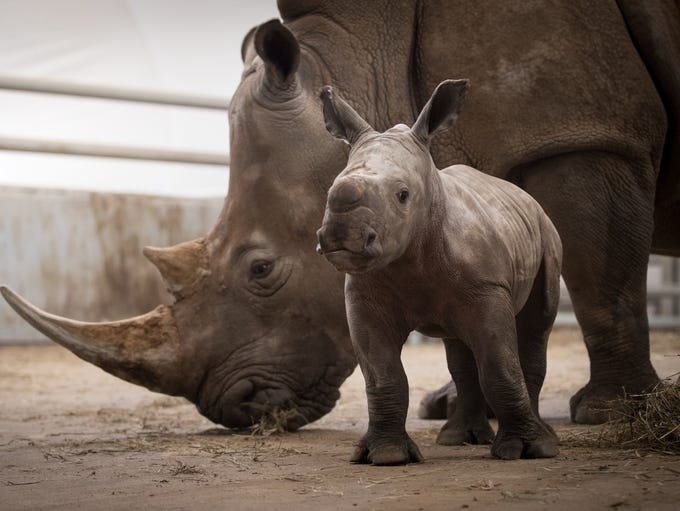 Baby rhinos at The Wilds