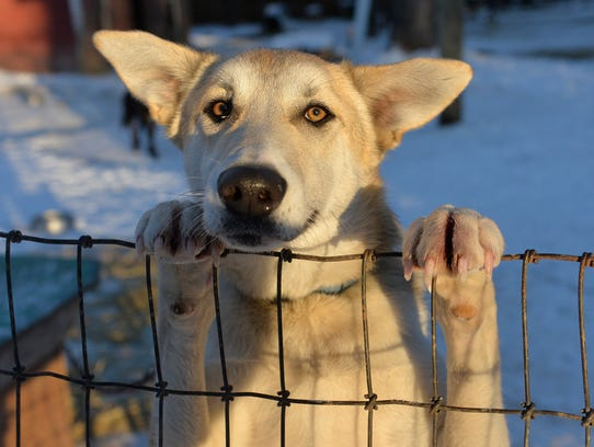 One of the sled dogs looks for a little attention from
