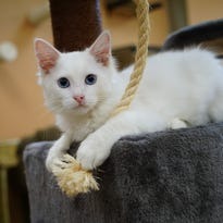 Forget dog days of summer. Cats are cool at this new Kennett cafe