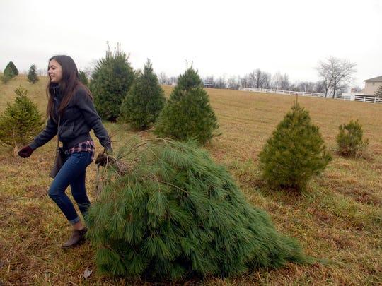 Elizabeth Hernandez, 19, drags her freshly cut tree