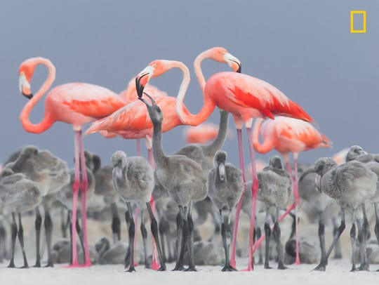 Pink flamingos feeding their young at a nesting area in RÌo Lagartos, Mexico.