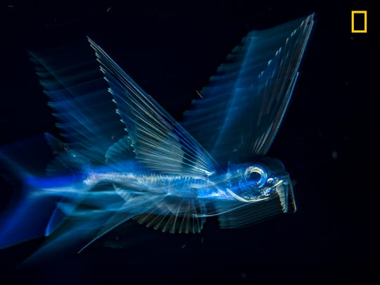 A flying fish swims at night in the gulf stream current