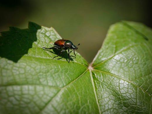 The Hoosier Gardener Japanese Beetles Return In Great Numbers