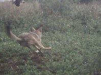 Coyotes in Wisconsin