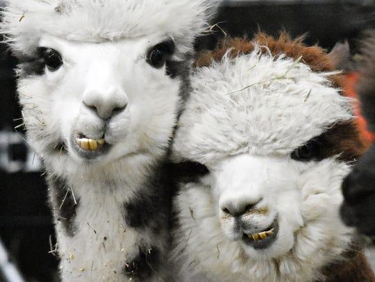 The Breeders Showcase Alpaca Show at Utz Arena in York