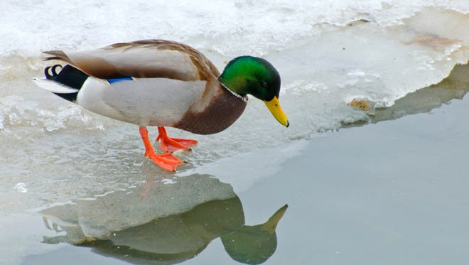 A duck banding event on Cayuga Lake has been called on account of winter.