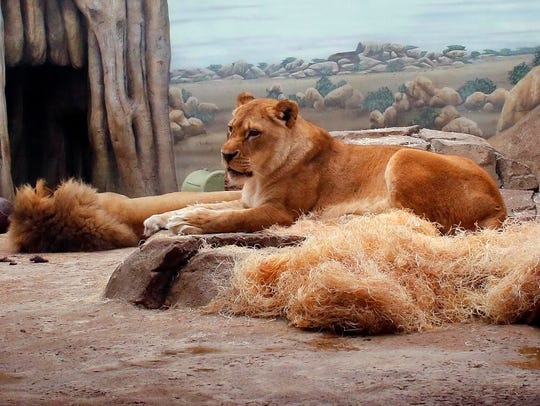 Lions make relaxing look easy at the Milwaukee County