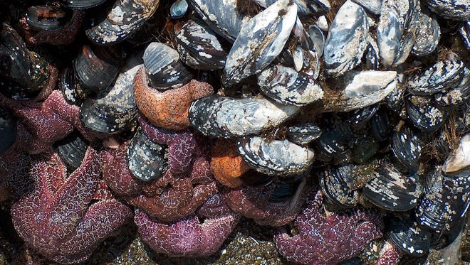 Recreational harvesting of mussels on a portion of the Oregon Coast is closed due to elevated levels of paralytic shellfish poisoning.