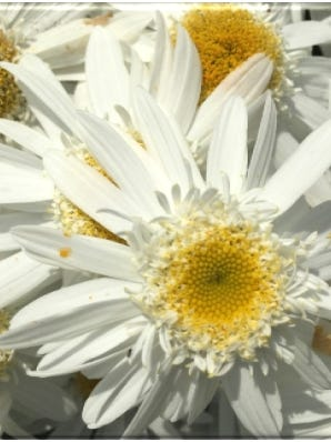 Sweet Daisy appears early in the season with pure white flowers.