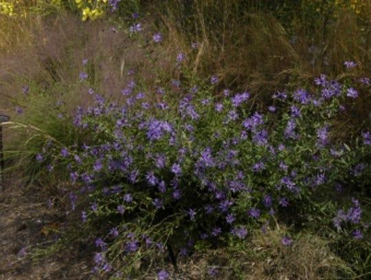Georgia asters, a more cold tolerant plant, continue