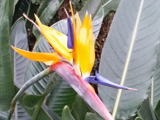 A bird of paradise in bloom.