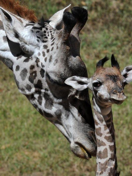 BabyGiraffe 000.JPG