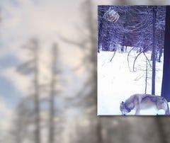 Wildlife camera spots wolf near Stevens Pass