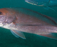 People can be affected by ciguatera, the most common form of algal-induced seafood poisoning, by eating contaminated tropical marine reef fish such as grouper, snapper (above) and barracuda.