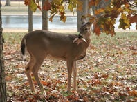 A white-tailed deer munches on an oak leaf 22 December, 2005 near the reflecting pool on the National Mall in Washington, DC.
