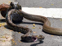 Snakes battle it out at a Singapore university