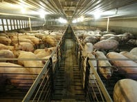 A hog confinement facility in Iowa.