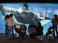 People watch through the glass as a killer whale passes by while swimming in a display tank at SeaWorld in San Diego.