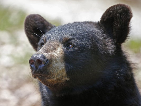A black bear is seen in this file photo. A bill in Trenton up for consideration today seeks to make it harder for them to feed from garbage cans. (AP Photo/Robert F. Bukaty)