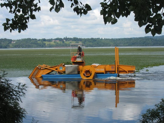 Chester, the water chestnut harvester, works along a stretch of the river.