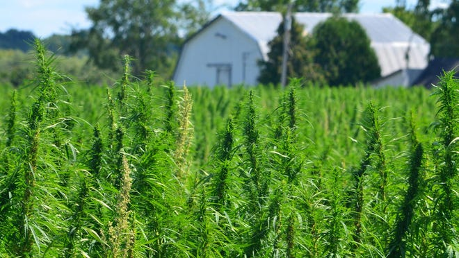 A hemp field. Pennsylvania has published a new set of standards and requirements governing the cultivation of marijuana's non-intoxicating cousin. (Dreamstime/TNS)