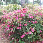 Azaleas typically reach peak bloom in Louisiana in late March and early April.