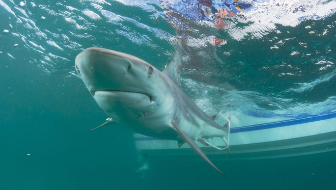 The blacktip shark is one of the more common shark species along Florida's Space Coast waters.
