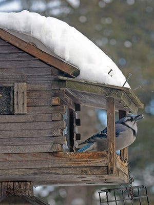 A bluejay eats a sunflower seed after cracking it open against the feeder's wooden railing.