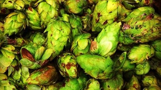 Just-picked hops fill a box at the Blue Mountain Brewery farm in Afton, Va. Over the past few years, more than a dozen states including Virginia have added hops to their list of crops.