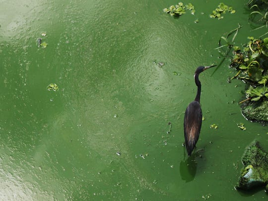 A tri-colored heron wades in an algal bloom along