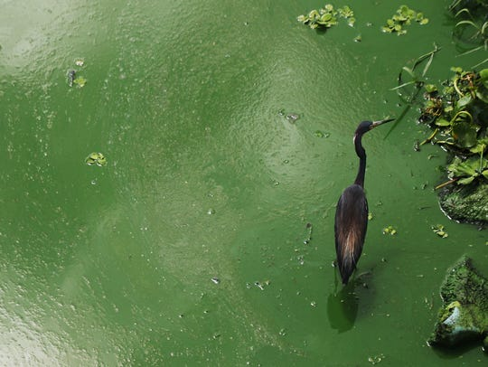A tri-colored heron wades in an algal bloom along the