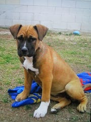 Two Boxer puppies were stolen from an Acoma Avenue home Monday.