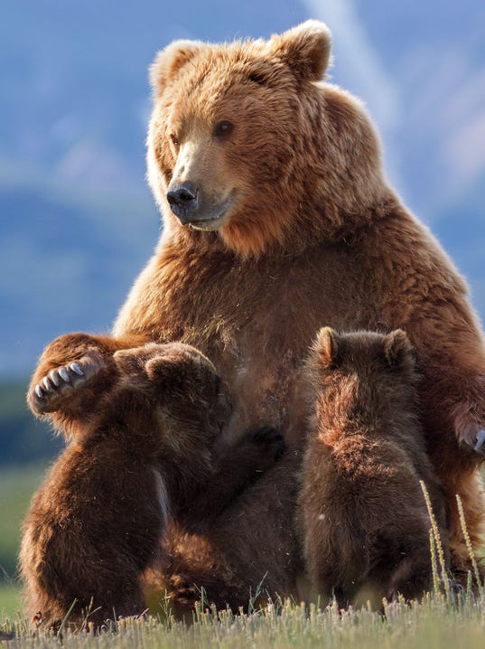 Mother bear looks out