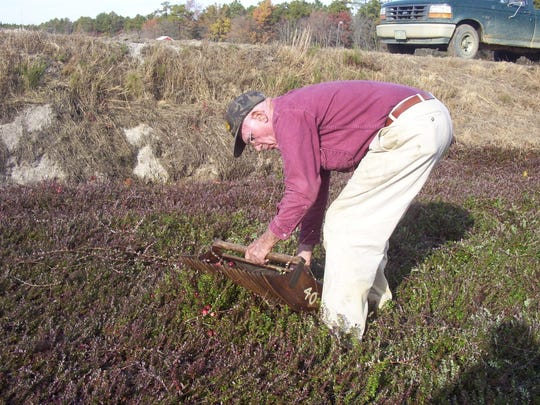 The late William Haines harvests cranberries for testing using an old-fashioned scoop with wooden teeth in a Hog Wallow bog in Burlington County. His son, William Haines Jr., now owns the farm.