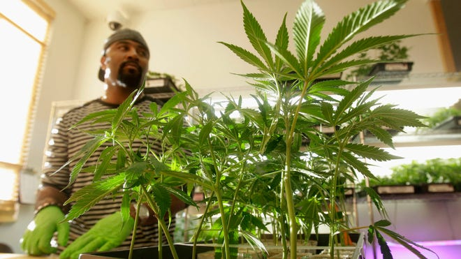 Harborside Health Center employee Gerard Barber stands behind medical marijuana plants at Harborside Health Center in Oakland, Calif., in 2011.