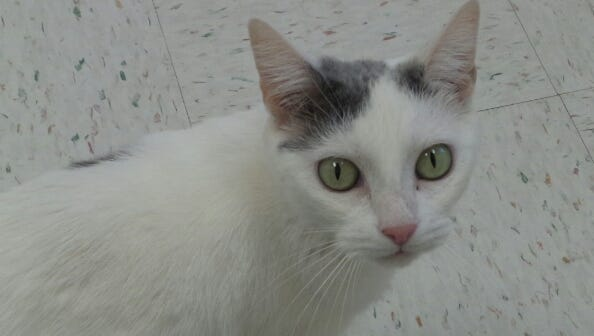 Princess is a 5-year-old gray-and-white girl who was found running around Chambersburg. This little lady is quite the talker! She's a petite little miss who is looking for someone to take a chance on her. Could that someone be you?