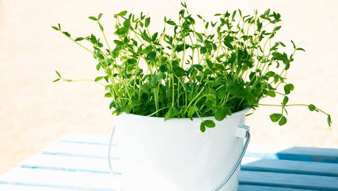 Pea shoots can be grown inside or outside.