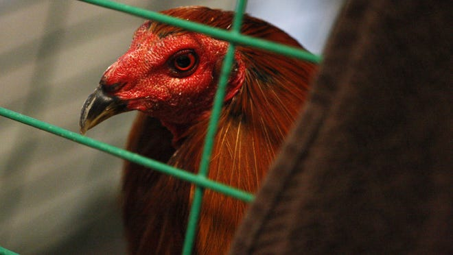 A fighting rooster is caged in 2011 at the Society for the Prevention of Cruelty to Animals for Monterey County. It was one of 150 seized from a cockfight at a home in Royal Oaks.